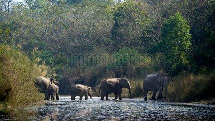 Asian Elephants crossing a river - Bardia Nepal