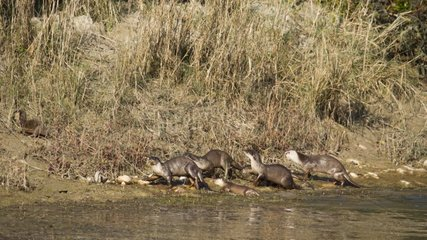 Smooth-coated Indian otters on river bank - Bardia Nepal