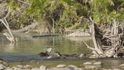 Smooth-coated Indian otters in river - Bardia Nepal