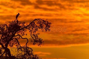 African open-billed Stork on tree at dawn - Masai Mara Kenya