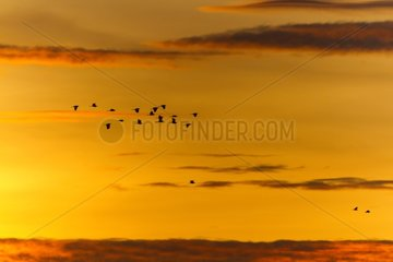 Cattle Egrets leaving the dormitory at sunrise - Masai Mara