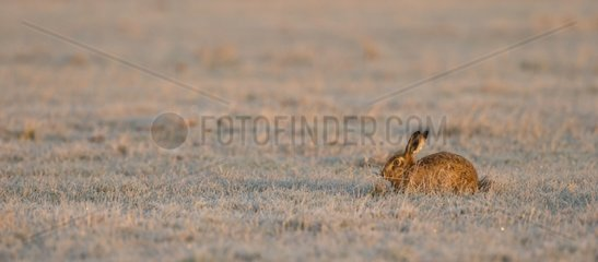 Brown Hare laying in a frozen meadow at sunrise - GB