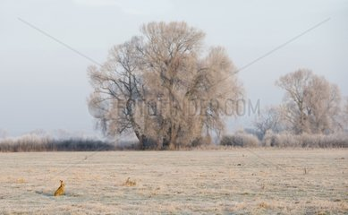 Brown Hare sitting in a frozen meadow at sunrise - GB