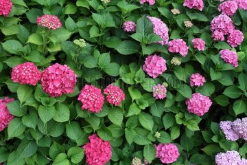 Hydrangea blossoms in the summer in a garden - France