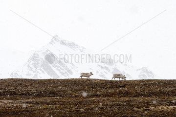 Svalbard reindeer (Rangifer tarandus platyrhynchus) walking under snow on snowy mountain background  Spitsbergen