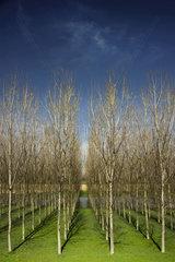 Breeding of Poplars (Populus sp)  Boretto  Reggio Emilia  Italy
