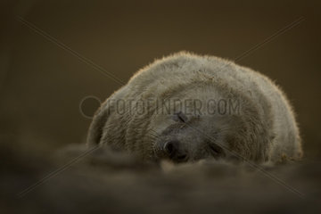 A young Grey Seal (Halichoerus grypus) pup rests as the sun sets off the coast of the Uk.