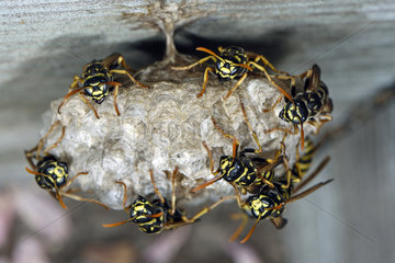 Nest of wasps  Polistes Gallicus or Polistes doninulus  built in a wooden garden  windowsill  house  Belfort  Territoire de Belfort  France