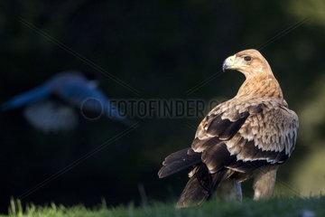 Spanish imperial eagle (Aquila adalberti) on ground  Cordoba  Spain