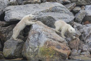 Polar bear (Ursus maritimus) cubs on rocks  Spitzberg  Svalbard