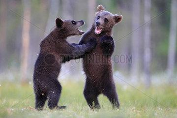 Brown Bear (Ursus arctos) cubs playing  Finland