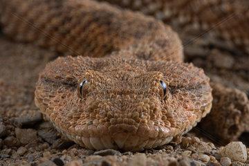 Horned viper (Cerastes cerastes). Some specimens do not have horns.