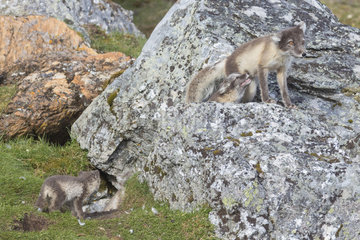 Arctic fox (Vulpes lagopus) and young  Spitzbergen  Svalbard.