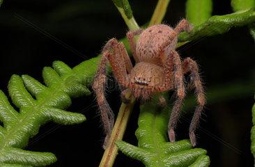 Badge huntsman spider (Neosparassus sp)  Australia