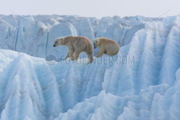 Polar bear (Ursus maritimus) female and cub on an iceberg  Wahlenbergfjord  Nordaustlandet  Spitzberg  Svalbard.