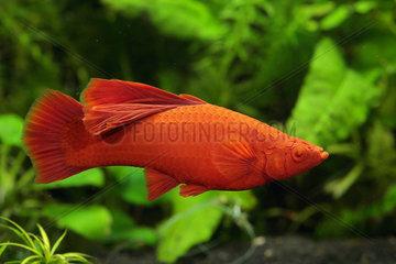 Swordtail (Xiphophorus helleri). Xipho veil red intense female