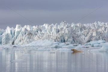 Polar bear (Ursus maritimus) sitting in the water sitting on a piece of ice  Wahlenbergfjord  Nordaustlandet  Spitzberg  Svalbard.