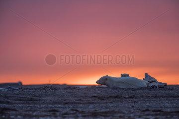 Polar Bear( Ursus maritimus ) female and cub resting at sunset along a barrier island outside Kaktovik  Every fall  polar bears (Ursus maritimus) gather near Kaktovik on the northern edge of ANWR  Barter Island  Arctic National Wildlife Refuge  Alaska