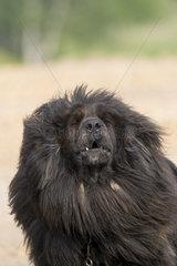 Tibetan Mastiff  Bashang Grassland  Zhangjiakou  Hebei Province  Inner Mongolia  China