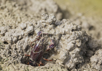 Red Swamp Crayfish (Procambarus clarkii). Invasive species from North America. Excavating its burrow at the edge of a flooded rice field. Environs of the Ebro Delta Nature Reserve  Tarragona province  Catalonia  Spain.