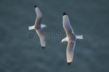 Two Kittiwakes (Rissa tridactyla) fly as the sun slowly sets off the coast of Flamborough  UK.