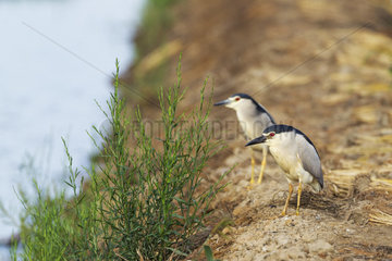 Black-crowned Night Heron (Nycticorax nycticorax). At a low bank of earth at the edge of a rice field (Oryza sativa). Environs of the Ebro Delta Nature Reserve  Tarragona province  Catalonia  Spain.