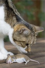 White and tabby Cat and a dead Mouse - France