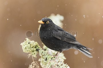 Male Blackbird on a branch in the snow - France