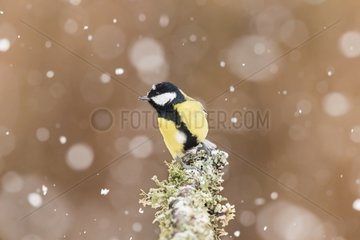 Great Tit on a branch in the snow - France