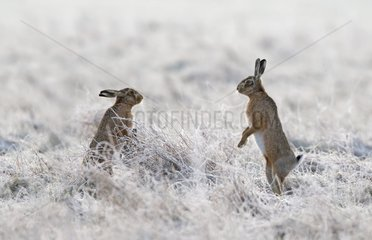 Brown Hares face to face in a frozen meadow at sunrise - GB