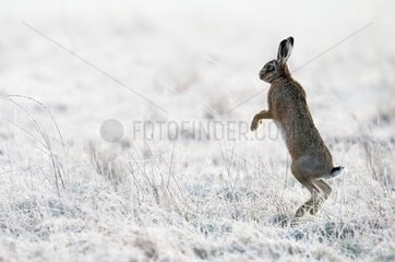 Brown Hare standing on his back legs in frozen meadow - GB