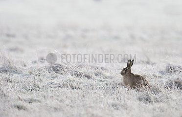 Brown Hare laying in a frozen meadow - GB
