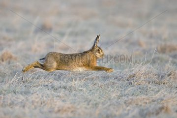 Brown Hare running in a frozen meadow - GB