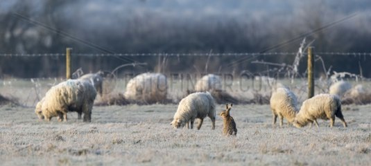 Brown Hare with sheep in a frozen meadow - GB