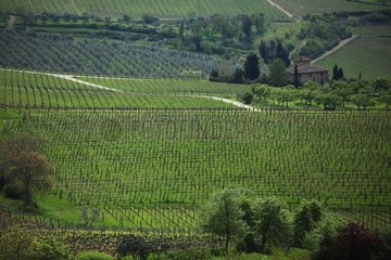 Vinyards in Casentino region in springtime - Tuscany
