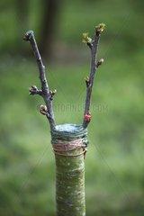 Grafting of fruit tree in springtime - Tuscany