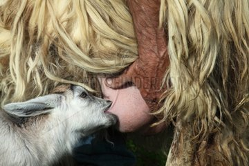 Sheep milking a young goat in the Pisa region - Tuscany