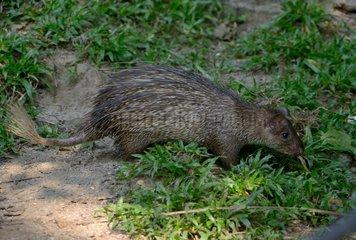 Asiatic Brush-tailed Porcupine - Malaysia