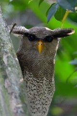 Portrait of Malay eagle owl on a branch - Malaysia