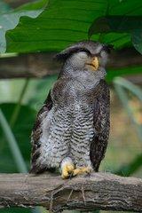 Malay eagle owl sleeping on a branch - Malaysia