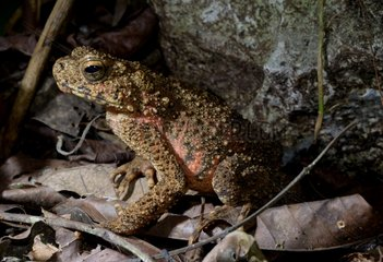 Asian giant toad in a cave forest - Malaysia