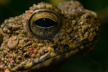 Portrait of Asian giant toad - Malaysia