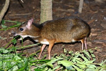 Lesser mouse deer eating foliage - Malaysia