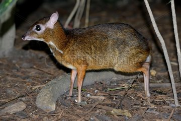 Lesser mouse deer undergrowth - Malaysia