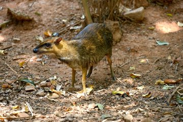 Greater mouse deer in forest - Malaysia