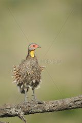 Yellow-necked Spurfowl snorting on a branch Tanzania