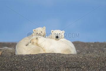 Polar Bear( Ursus maritimus )  along a barrier island outside Kaktovik  Every fall  polar bears (Ursus maritimus) gather near Kaktovik on the northern edge of ANWR  Barter Island  Arctic National Wildlife Refuge  Alaska