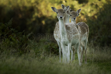 Three Fallow Deer (Dama Dama) line up in the early morning sun in Lincolnshire.