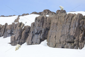 Polar bear (Ursus maritimus) male and female on rock  Spitsbergen  Svalbard.