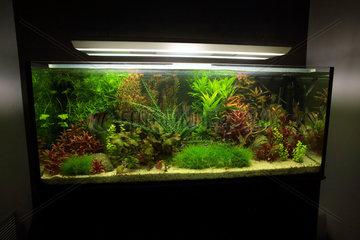 Aquarium with Amazonian fish  Aquarium planted with Altum scalar and red back Manacapuru